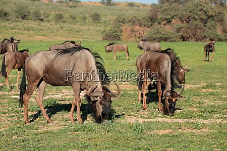 blue wildebeest herd grazing kalahari