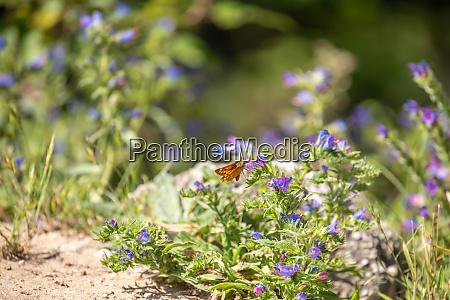 thick headed butterflies