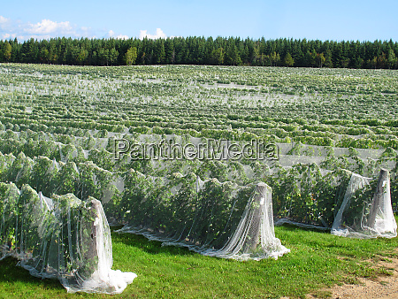 rows of vines covered with netting