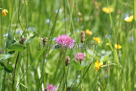 red clover in a meadow