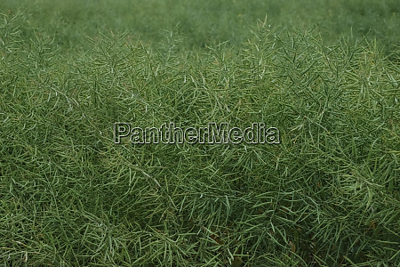 cultivation of rapeseed crops