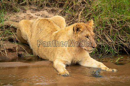 lion cub lies staring on sandy
