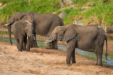three african elephants standing on sandy