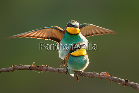 european bee eater couple mating on