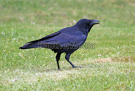 a rhinocemore in a raven crow