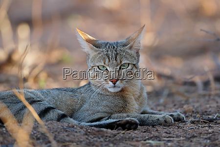 african wild cat portrait