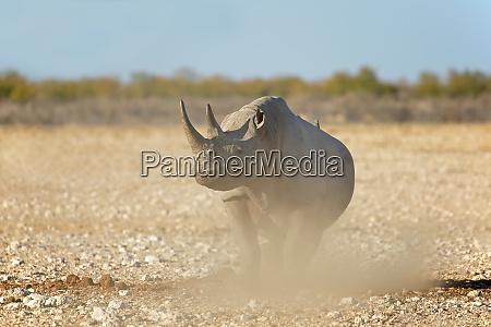 black rhinoceros etosha national park