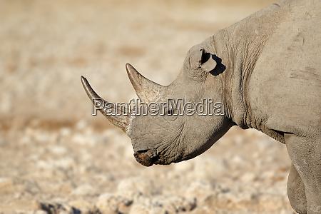 black rhinoceros portrait etosha national