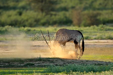 gemsbok antelope in dust kalahari