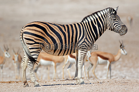 plains zebra and springbok antelopes