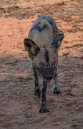 african wild dog lycaon pictus in