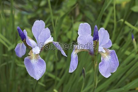 close up image of siberian iris