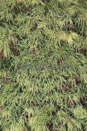 close up image of japanese maple