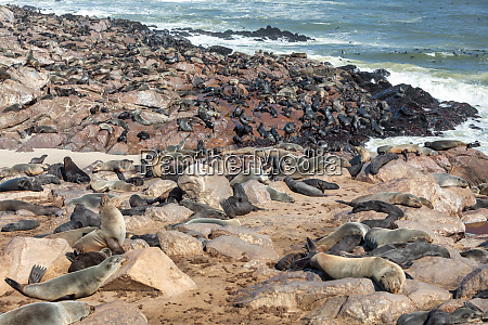 african carnivore brown seal in cape