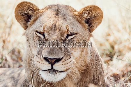 resting young lions botswana africa safari