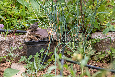 insecure young redstart tries to hide