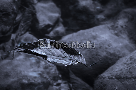 floating leaf in the water