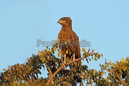 brown snake eagle perched on a