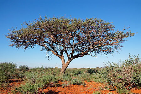 camel thorn tree against a blue