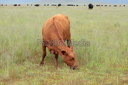 free range cow grazing on a