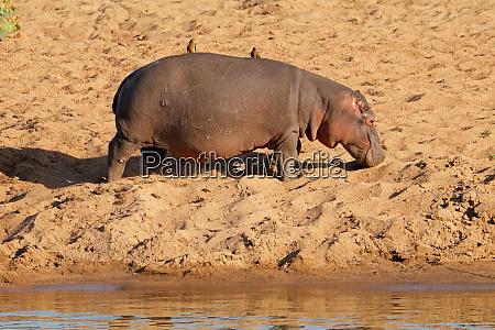 hippopotamus on land kruger national