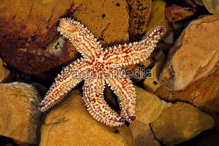 starfish in a rock pool