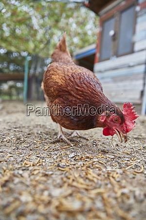 pecking chicken in farm
