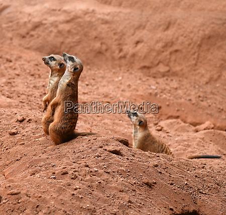 upright meerkats watch their fellows