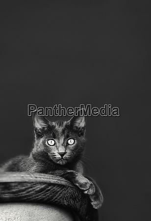 portrait wide eyed chartreux cat