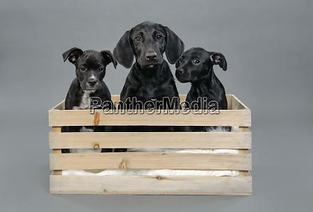 portrait cute black puppies in wooden
