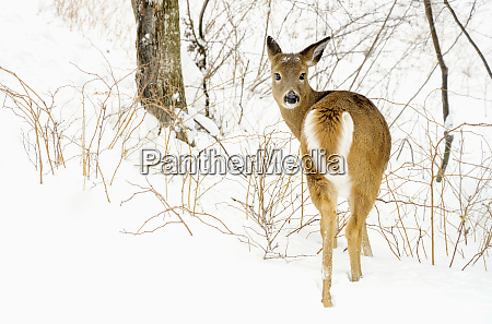 portrait deer in snowy woods