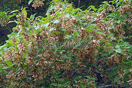 close up image of amur maple