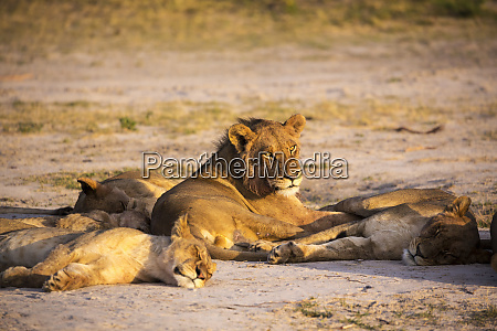 a group of lions resting in
