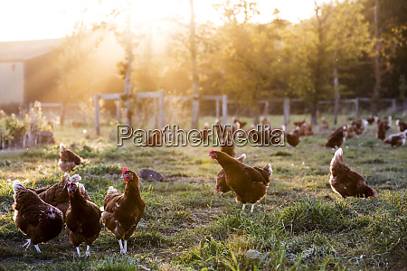 free range chickens outdoors in early