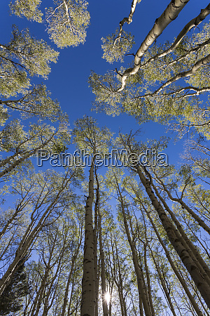 wide angle view of towering aspen
