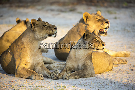 a pride of female lions lying