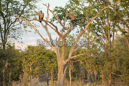 two large birds of prey vultures