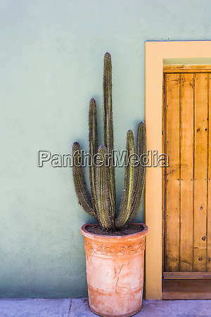 tall cactus in a pot on