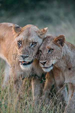 a lioness panthera leo bumps heads