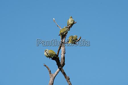 a flock of green pigeons treron