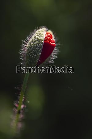 red poppy bud growing in field