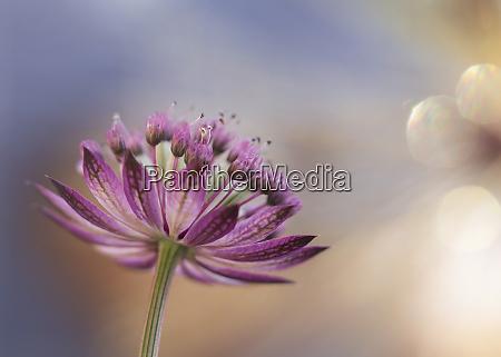 close upof blooming greatmasterwortastrantiamajor