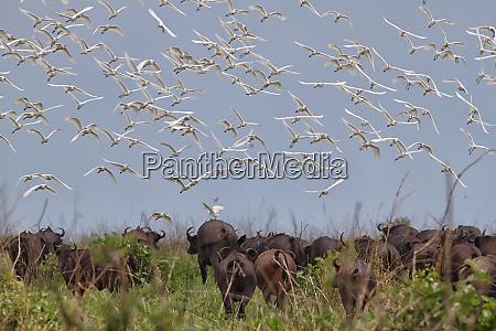 democratic republic of congo flock of