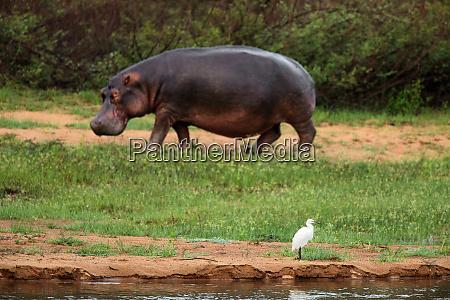 democratic republic of congo hippopotamus hippopotamus