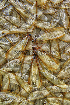 heap of dead termites and termite