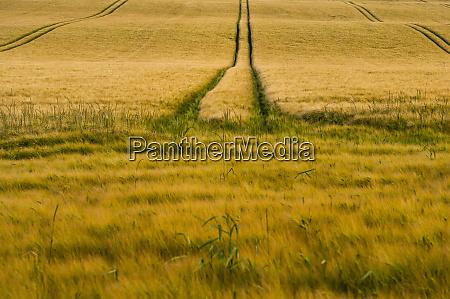 tyre tracks on wheat field
