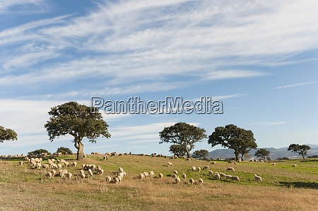 flock of sheep grazing on pasture