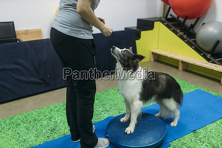 female physiotherapist training border collie on