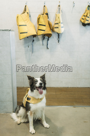 border collie in life jacket sticking