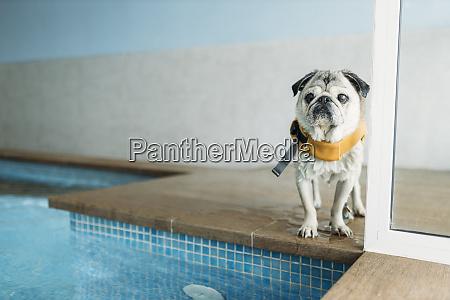 pug dog wearing life jacket by